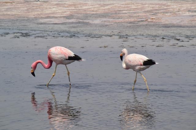 Flamingo's Laguna Chaxa